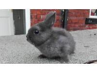 Netherland dwarf rabbit for sale