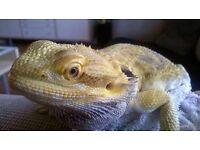 2 half year old female bearded dragon