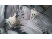 2 girl deer head chihuahuas for sale . white and cream
