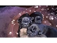 Pug puppys for sale