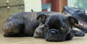AVAILABLE   Boston Terrier/Bugg puppies