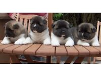 FREE Akita Puppies Only 2 Left