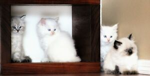 Beautiful PERSIAN HIMALAYAN kittens