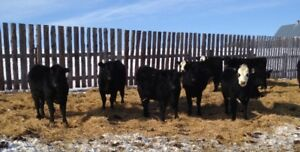 30 BBF/BLK Bred Heifers For Sale (30 day Calving Cycle)