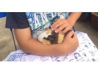 12w/o Guinea Pigs, Hutch, Run & Food