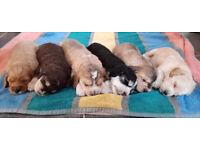 Beautiful Rare Multi Generation Cockapoo puppies