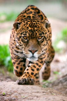 Wanted: WANTED ALL JAGUARS
