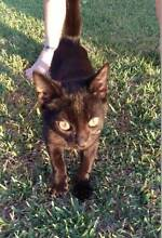 AK1051:  Mouse - KITTEN for ADOPTION - Vet work included High Wycombe Kalamunda Area Preview