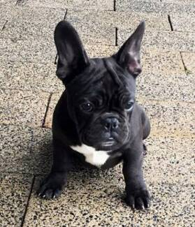 PEDIGREE ADULT & PUPPY FRENCH BULLDOG- BLUE CARRIER