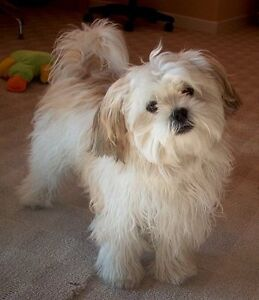 Looking for a small breed puppy