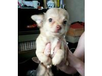 Chihuahua puppies available now