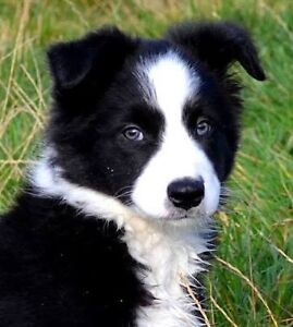 Border collie pup Waterford Park Mitchell Area Preview