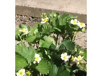 Strawberry plants for Sale...