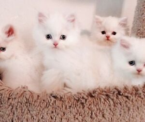 *All White Himalayan kittens available*