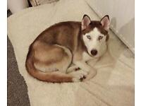 Beautiful red and white husky