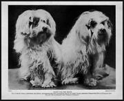 Vintage Maltese Dog