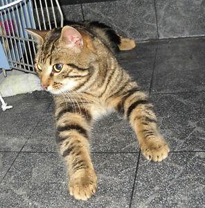 Roméo, chat d'environ un an, en santé et très affectueux.
