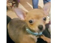 Beautiful blue sable chihuahua male 9 months old, only selling him due to ill health