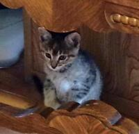 """Young Female Cat - Domestic Short Hair: """"Cally"""""""