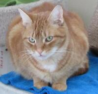 "Adult Male Cat - Tabby - Orange: ""Buttons"""