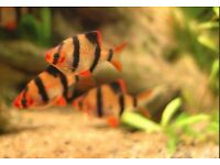 Tropical fish Tiger Barbs, 1.5 - 2 inch, lovely fish