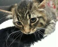 "Young Female Cat - Tabby - Brown: ""Trixie"""