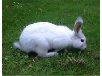 FOUND - White Rabbit - South Hylton, Sunderland