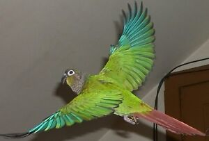 1 year old conure