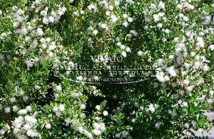 Pianta ornamentale giardino siepe cespuglio mirto vaso 7 for Pianta eugenia