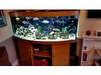 5ft bow front fish tank with fish
