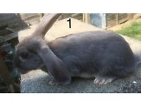 4 lovely male rabbits
