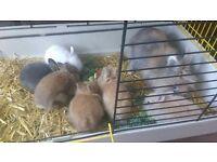 Baby Lionhead Cross Dwarf Netherland Rabbits