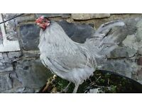 Lavender ARAUCANA rooster cockerel Banbridge