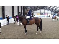 Beautiful 16hh mare for loan 3 days per week.
