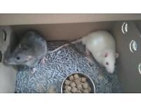 2 Male Rats with cage, bedding and food.