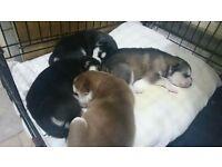 siberian husky pups for sale.