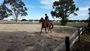 Liver Chestnut TB Mare Clyde Casey Area Preview