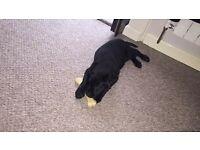 black labrador pup for sale ASAP