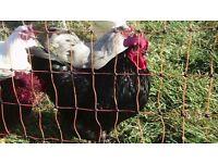 Black AUSTRALORP rooster LF
