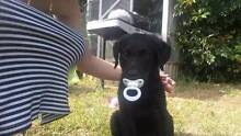 Black Labrador pup Condell Park Bankstown Area Preview
