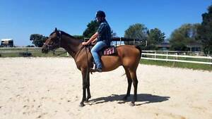 Super TB Gelding Clyde Casey Area Preview