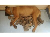 Gorgeous Bullmastiff Puppies