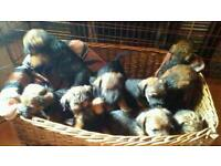 Border terrier/paterdale terrier cross pups