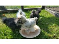 Looking for a cheap coop and run for 4 rescued baby chicks