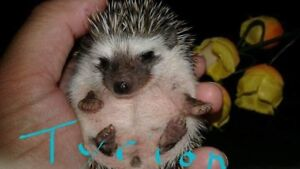 Hedgehog from the nest