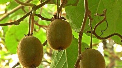 Actinidia deliciosa Solo in 9cm pot Kiwi Fruit Self-fertile