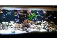 """60 mixed tropical fish """"cichlids"""" need rehoming due to tank shut down"""