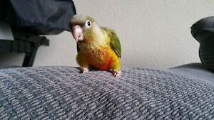 ❤♥☆♥ CONURE ♥ Babies with Cage and Food ♥☆♥❤ Cambridge Kitchener Area image 6