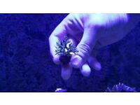 SPS Coral Frags