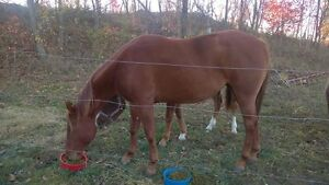 Registered Appaloosa Mare in Foal Belleville Belleville Area image 2